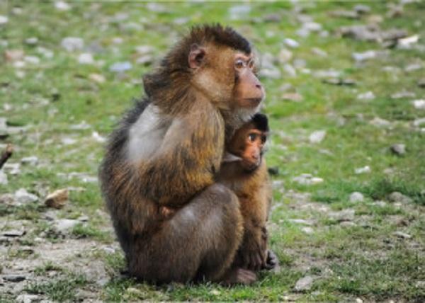 Breastfeeding-monkey-license-free-CC0-314x224